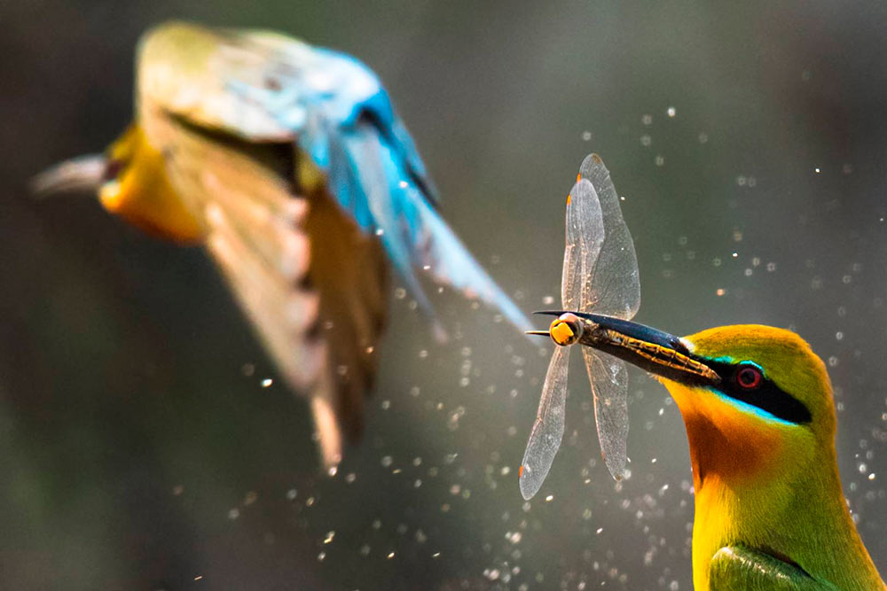 A blue-tailed bee-eater in action captured by Nazmul Nisad